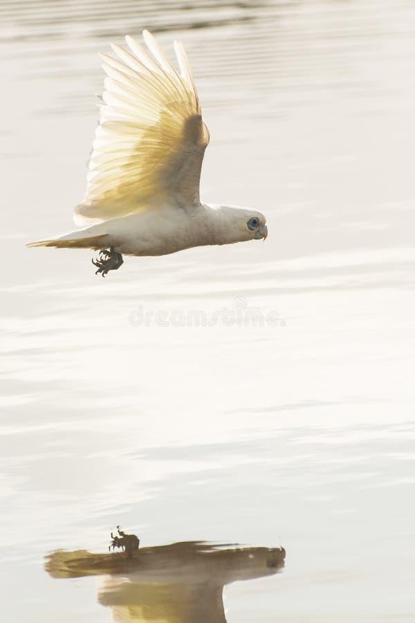 Pouca reflexão do voo de corella no lago fotografia de stock