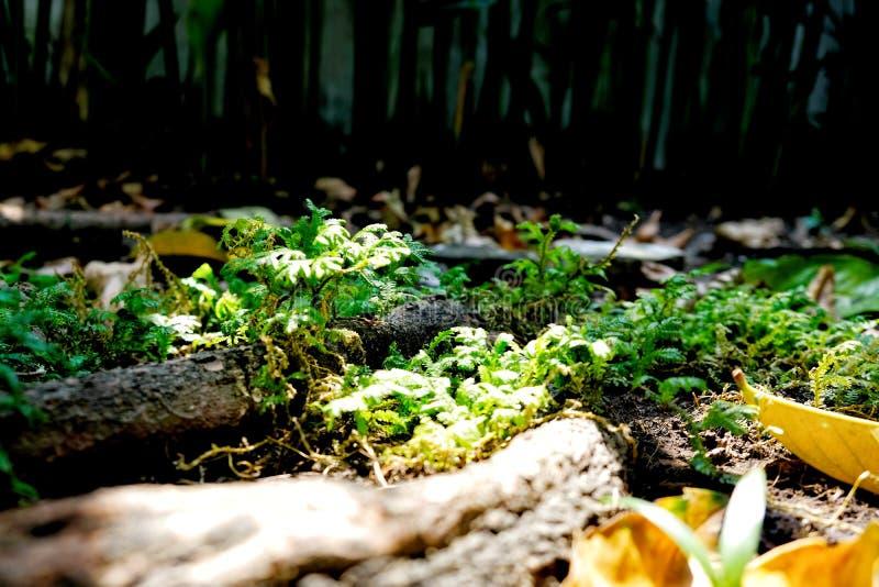 Pouca samambaia de bordo no solo moeu com raiz do ` s da árvore e alguma folha seca foto de stock royalty free