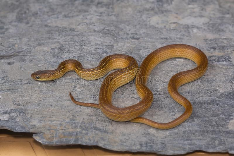 Pouca serpente necked listrada, calamaria de Liopeltis, raro foto de stock royalty free