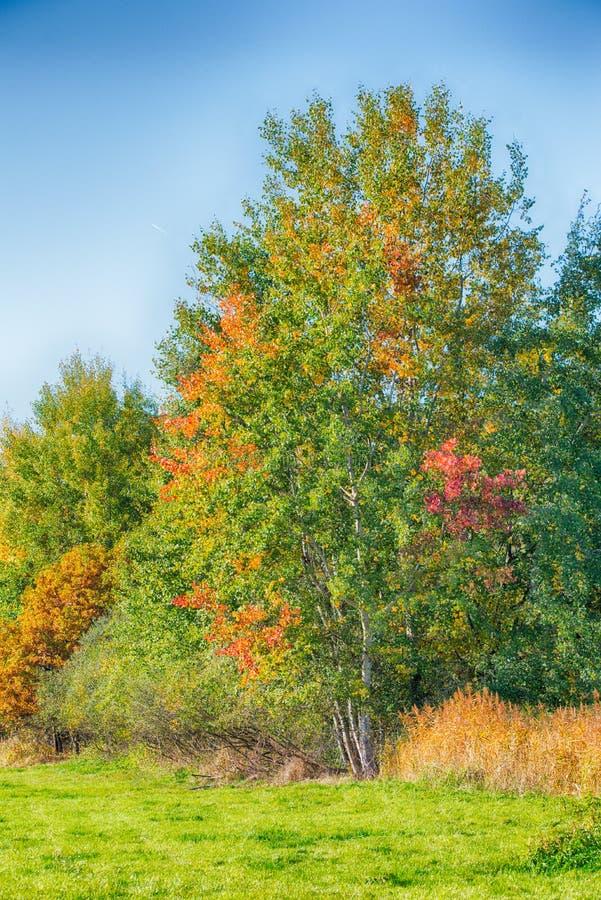 Poucas árvores de vidoeiro com as folhas de outono da cor ao lado do prado fotos de stock royalty free
