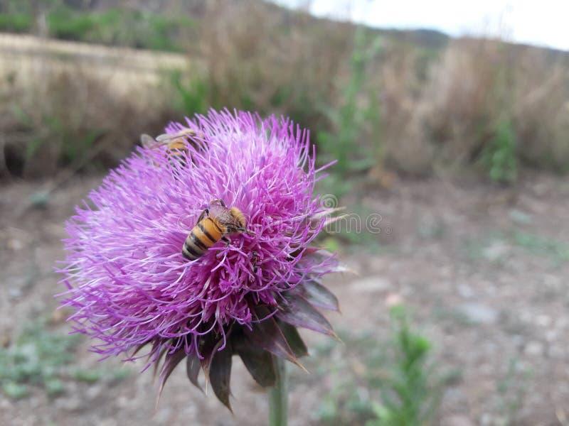 poucas abelhas em uma flor fotos de stock royalty free