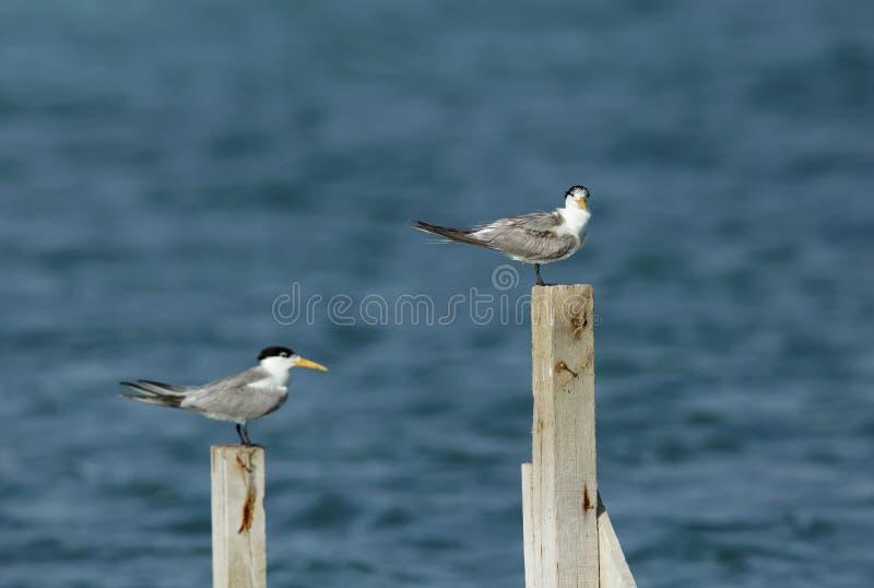 Poucas andorinhas-do-mar com crista que sentam-se em logs de madeira imagens de stock