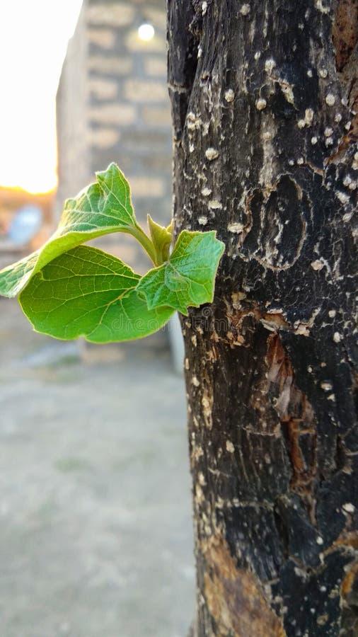 Poucas folhas na árvore grande fotos de stock