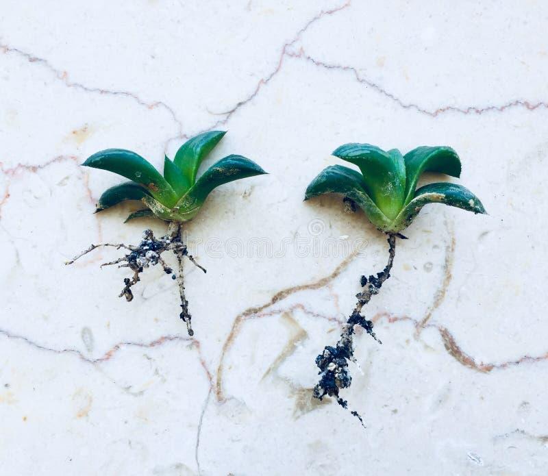 poucas plantas do haworthia foto de stock