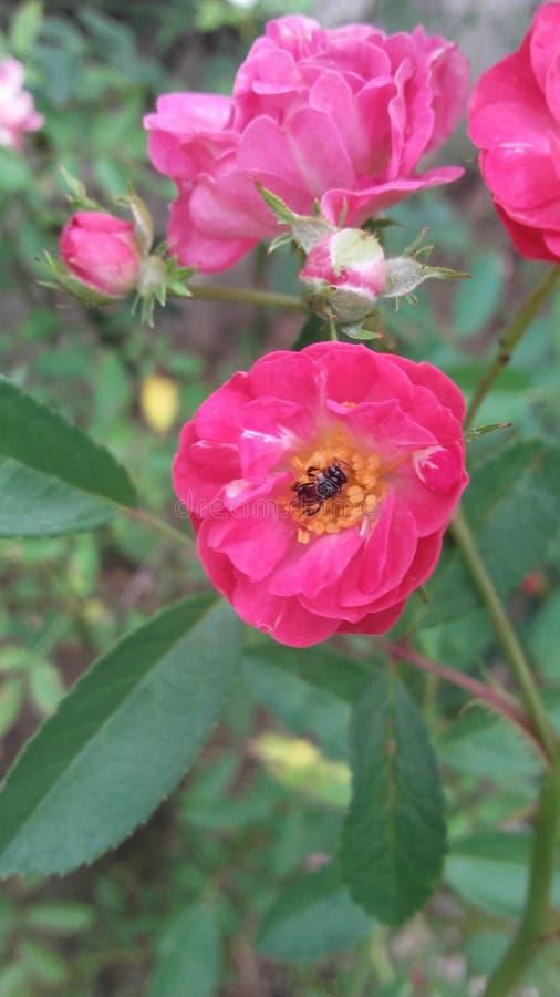 Pouco abelha na flor cor-de-rosa foto de stock