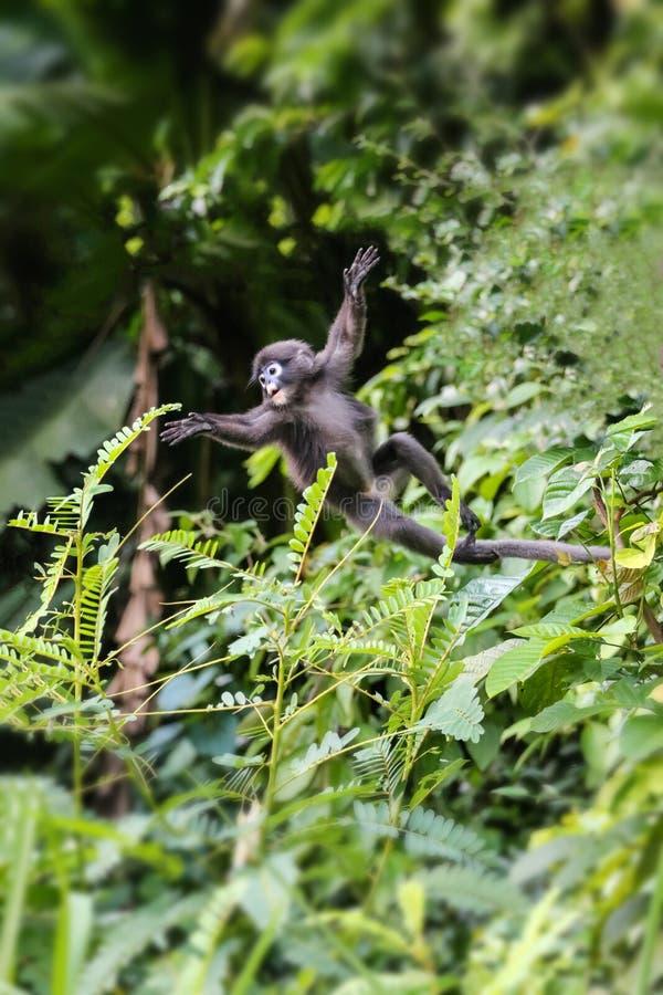 Pouco animais selvagens, macaco da folha ou balanço obscuro do langur na árvore imagem de stock