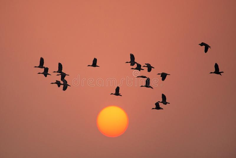 Pouco assobio ducks o voo no por do sol na nação de Keoladeo Gana imagens de stock