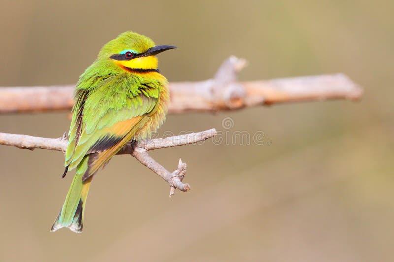 Pouco Bee-eater fotos de stock