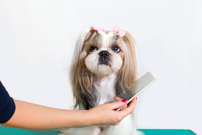 Pouco cão do shih-tzu da beleza na mão do groomer fotos de stock
