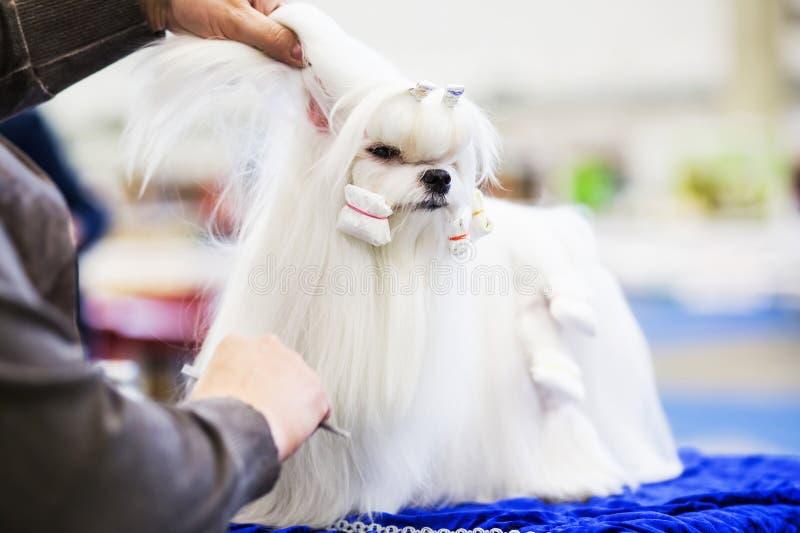 Pouco cão do shih-tzu da beleza no groomer& x27; mão de s imagens de stock royalty free