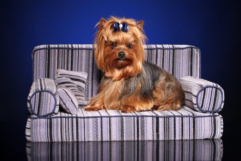 Pouco cão do yorkie no sofá imagem de stock royalty free