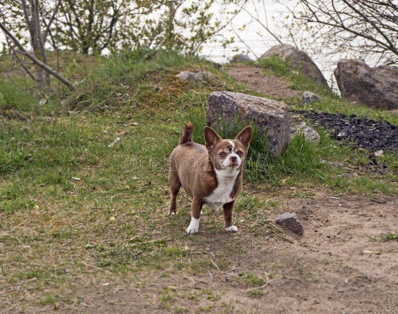 Pouco c?o da chihuahua no parque fotografia de stock