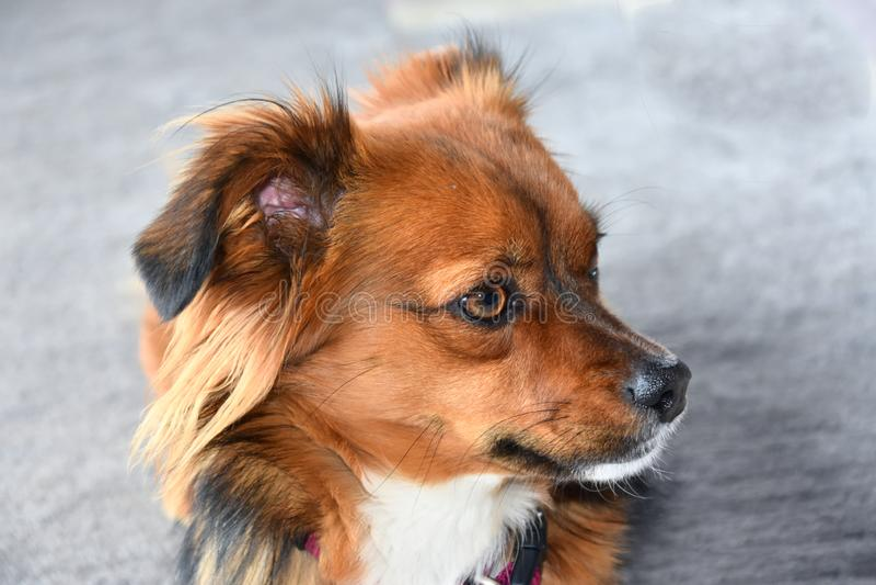 Pouco c?o de cachorrinho observa seus arredores fotografia de stock