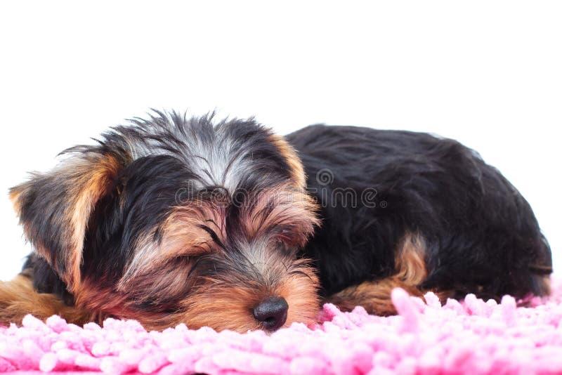 Pouco cachorrinho do yorkie dorme em um tapete fotografia de stock