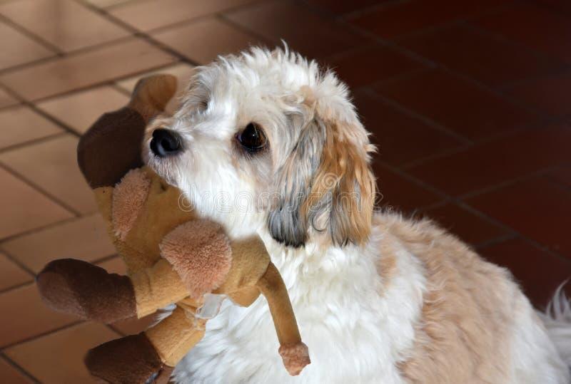 Pouco cachorrinho havanese está esperando alguém para jogar com ele imagem de stock