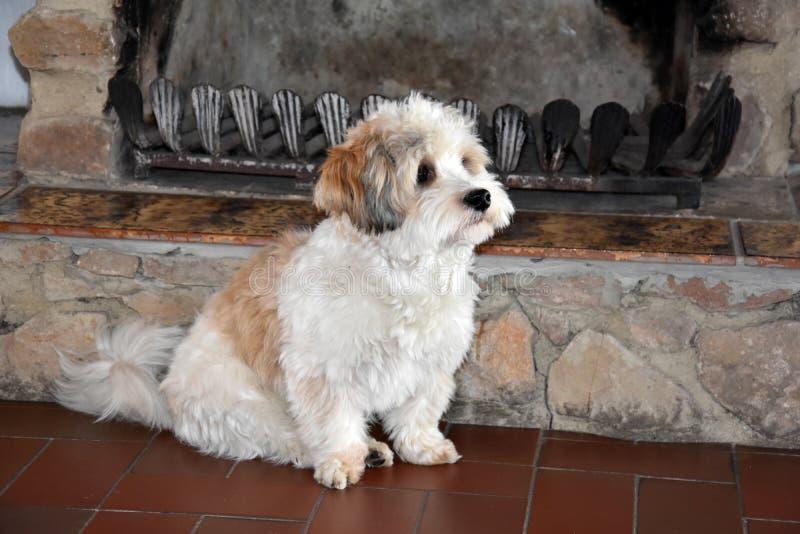 Pouco cachorrinho havanese está esperando alguém para jogar com ele fotografia de stock