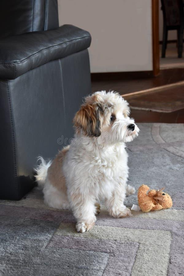 Pouco cachorrinho havanese está esperando alguém para jogar com ele imagens de stock