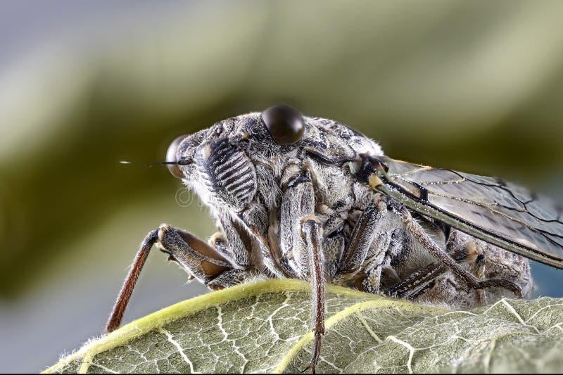 Pouco cicadidae Fim macro acima de empilhar a foto inseto imagens de stock royalty free