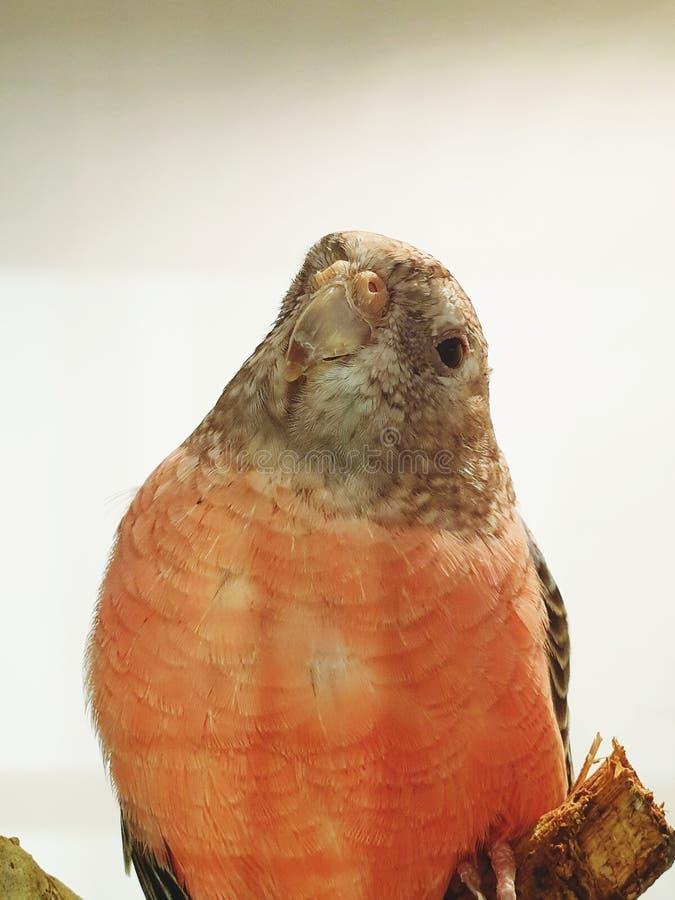 Pouco close up da cara do pássaro imagem de stock royalty free