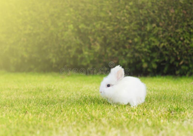 Pouco coelho branco no gramado no jardim fotografia de stock royalty free