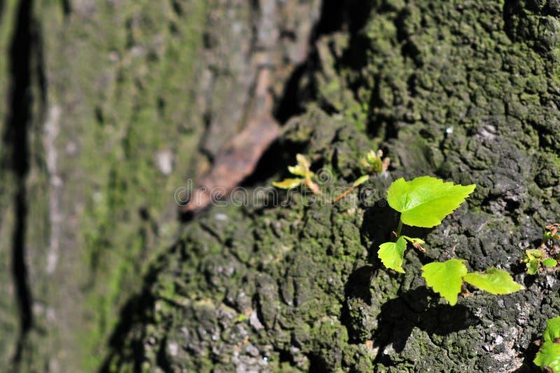 Pouco cordata do Tilia da folha do Linden, cal pequeno-com folhas, ocasionalmente Linden do littleleaf ou Linden pequeno-com folh fotografia de stock