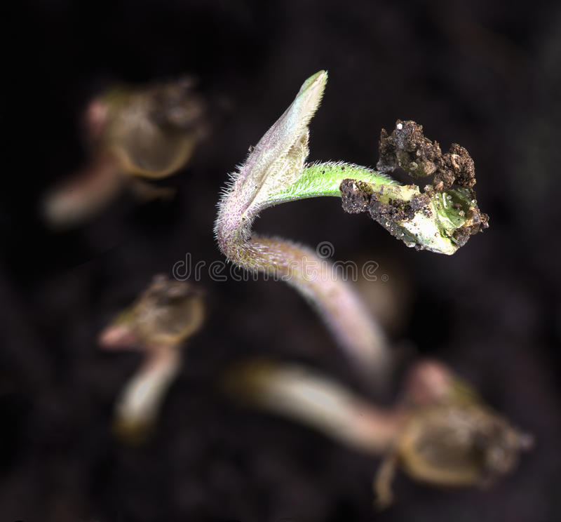 Pouco crescimento do broto do cânhamo da terra escura fotos de stock royalty free