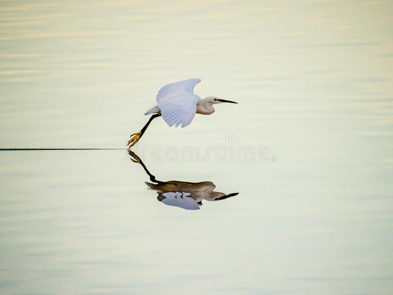 Pouco Egret que tira uma linha fotos de stock royalty free