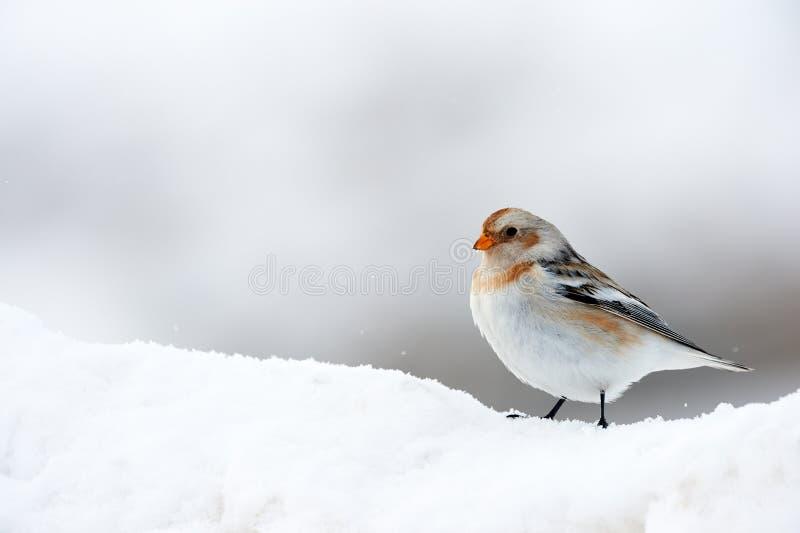 Pouco estamenha de neve do pássaro no inverno fotos de stock