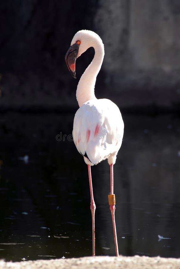 Pouco flamingo foto de stock royalty free