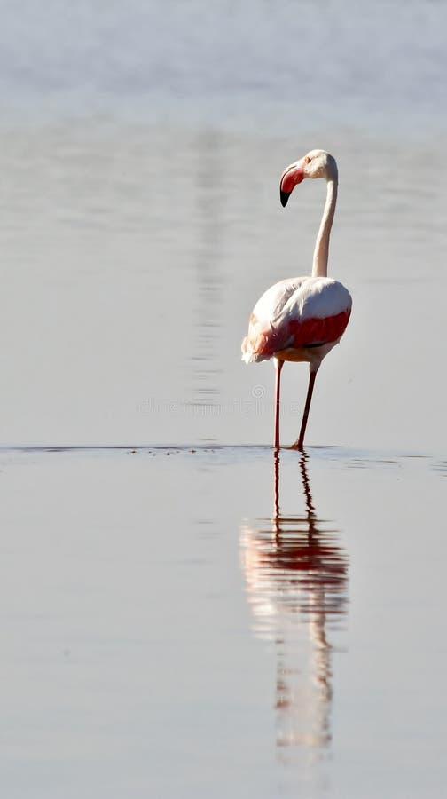 Pouco flamingo fotografia de stock royalty free