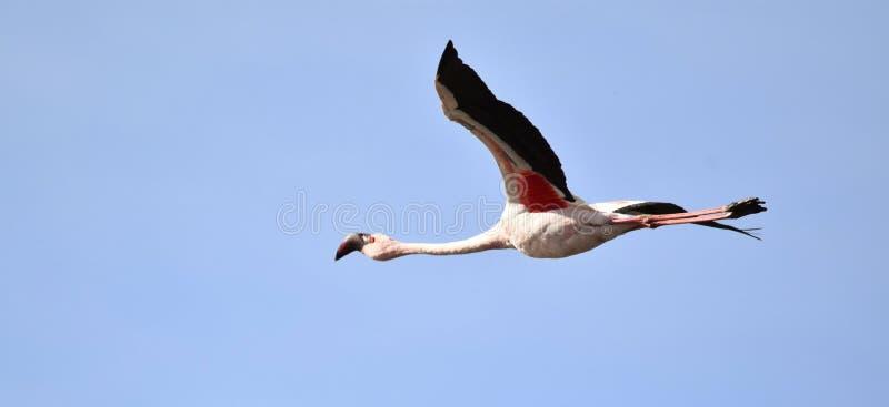 Pouco flamingo imagem de stock royalty free