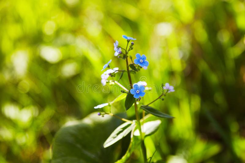 Pouco flores azuis do miosótis no prado da mola nos sunlights fotografia de stock