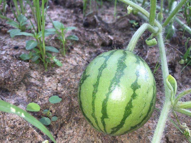 Pouco fruto da melancia em Sri Lanka fotos de stock royalty free