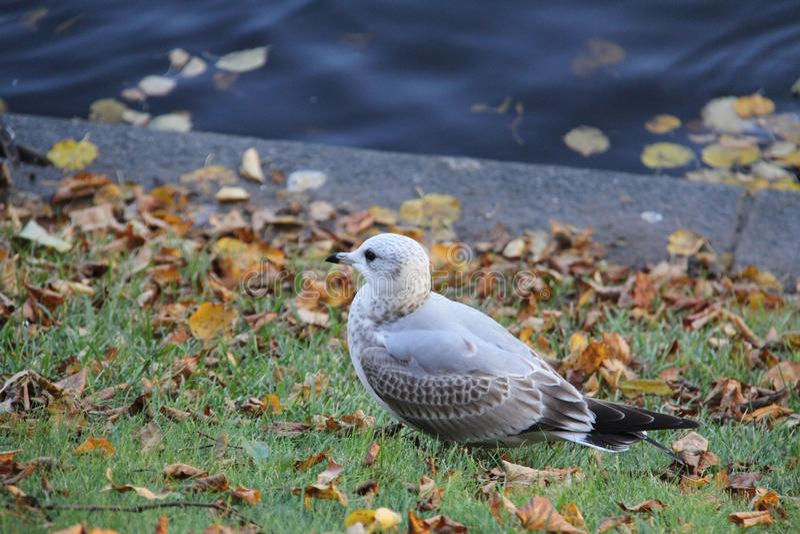 Pouco gaivota cinzento-branca na grama fotografia de stock