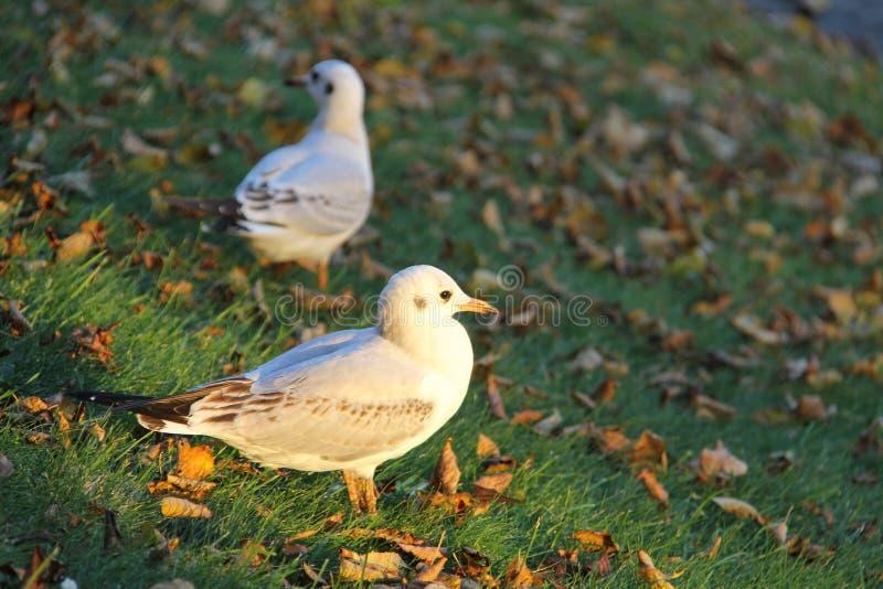 Pouco gaivota cinzento-branca na grama fotos de stock royalty free