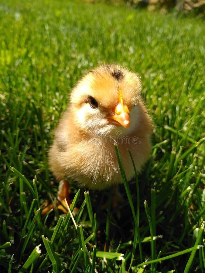 Pouco galinha amarela está na grama verde fotografia de stock royalty free
