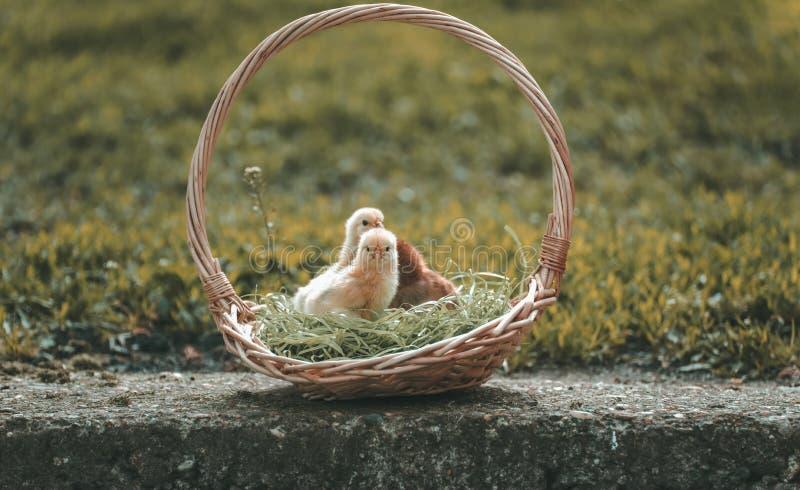 Pouco galinhas bonitos de minha exploração agrícola foto de stock royalty free