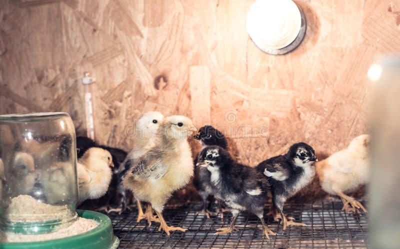 Pouco galinhas em uma chocadeira na exploração agrícola imagem de stock royalty free