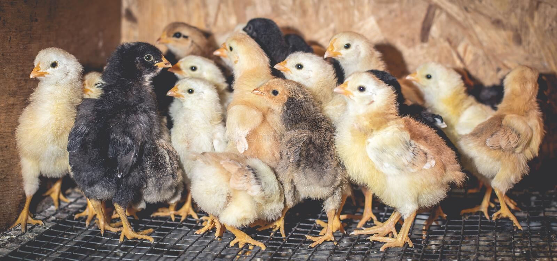 Pouco galinhas em uma chocadeira na explora??o agr?cola imagens de stock