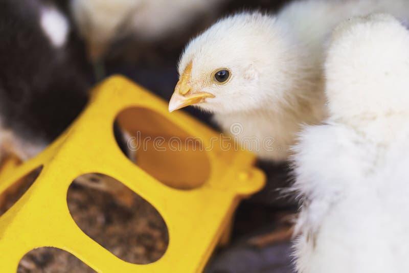 Pouco galinhas está comendo dos alimentadores imagem de stock