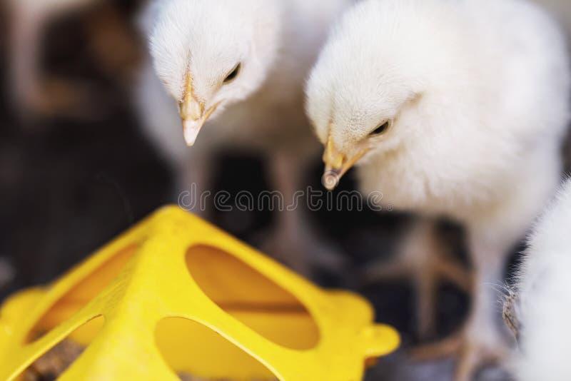 Pouco galinhas perto dos alimentadores com alimento fotos de stock