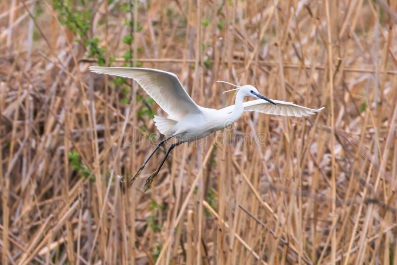 Pouco garça-real branca pequena do garzetta do Egretta do Egret em voo fotos de stock