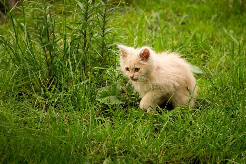 Pouco gatinho é jogar exterior na grama no jardim, procurando uma caça, fim acima, natureza no fundo fotos de stock royalty free