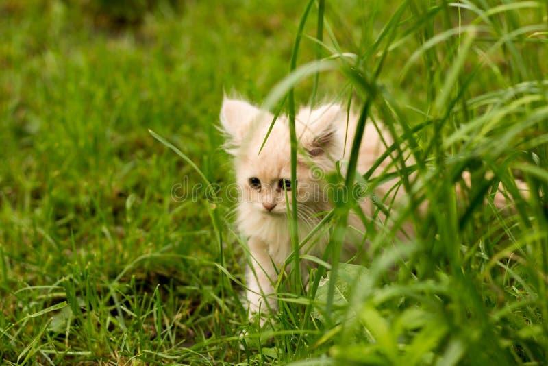 Pouco gatinho é jogar exterior na grama no jardim, procurando uma caça, fim acima, natureza no fundo imagens de stock royalty free