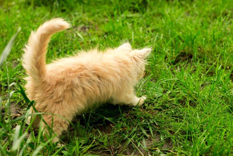 Pouco gatinho é jogar exterior na grama no jardim, procurando uma caça, fim acima, natureza no fundo imagem de stock