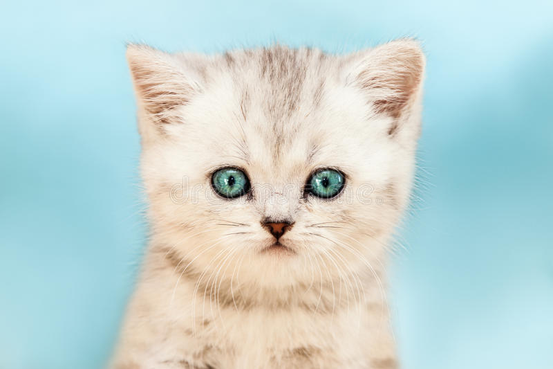 Pouco gato de tabby de prata doméstico britânico fotografia de stock