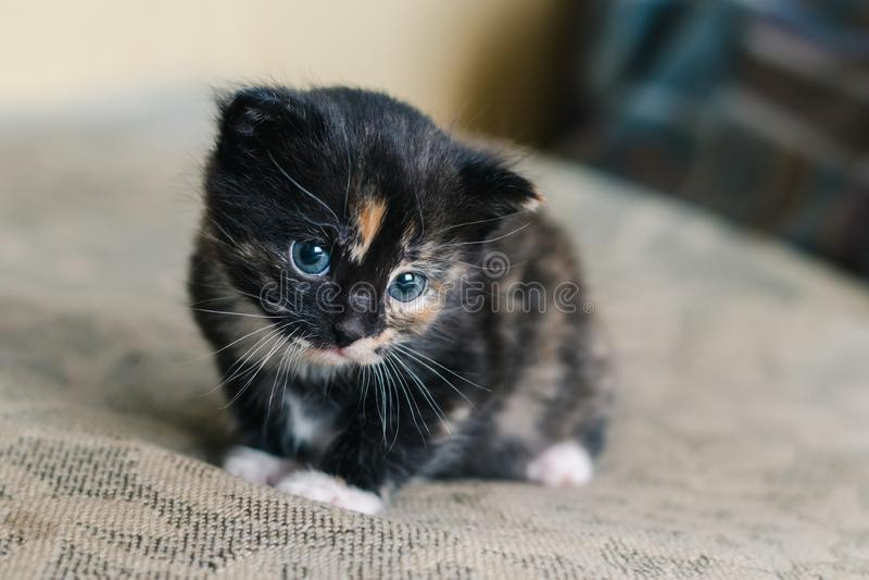 Pouco gato preto bonito com os pontos e olhos azuis brancos e vermelhos no sofá imagens de stock royalty free