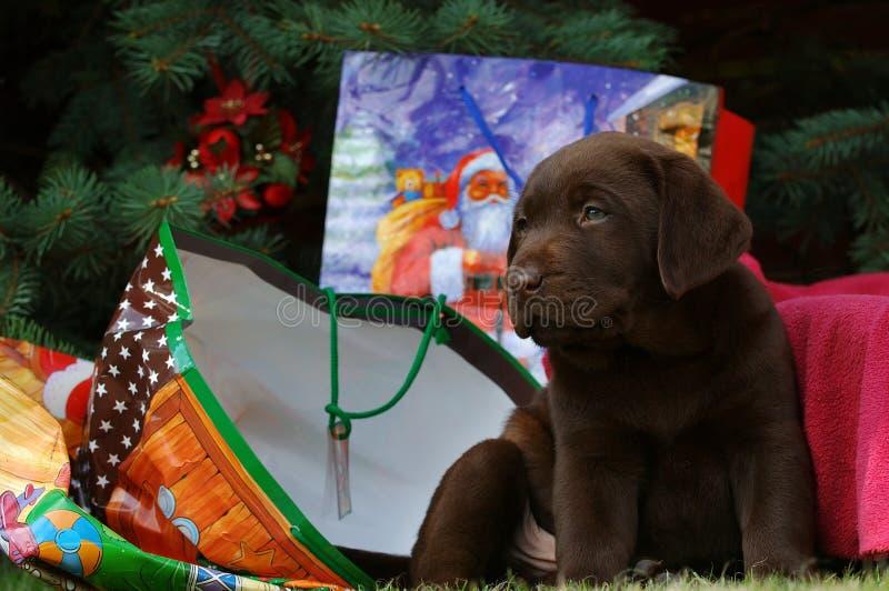 Pouco Labrador no Natal fotografia de stock royalty free