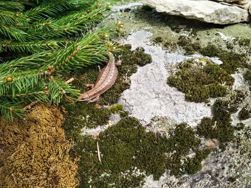 Pouco lagarto está sentando-se em uma pedra sob o sol fotografia de stock