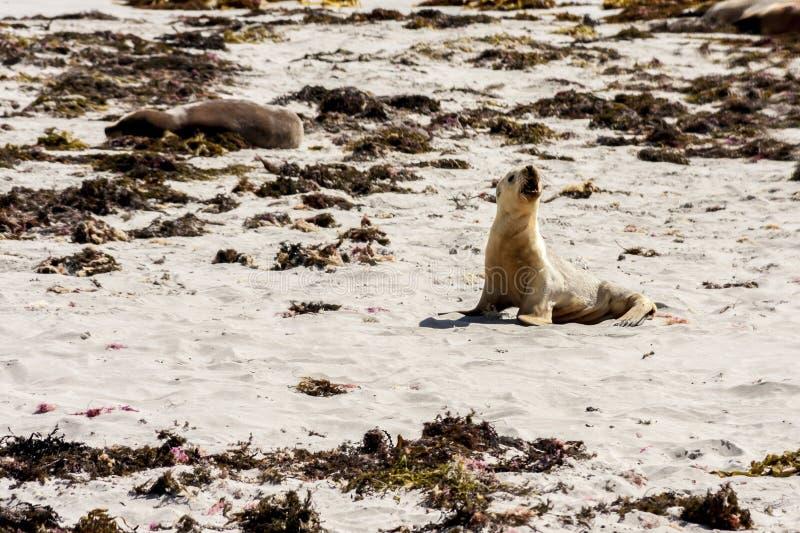 Pouco leão de mar australiano bonito que chama para sua mãe Litoral da ilha do canguru, Sul da Austrália, baía do selo imagens de stock